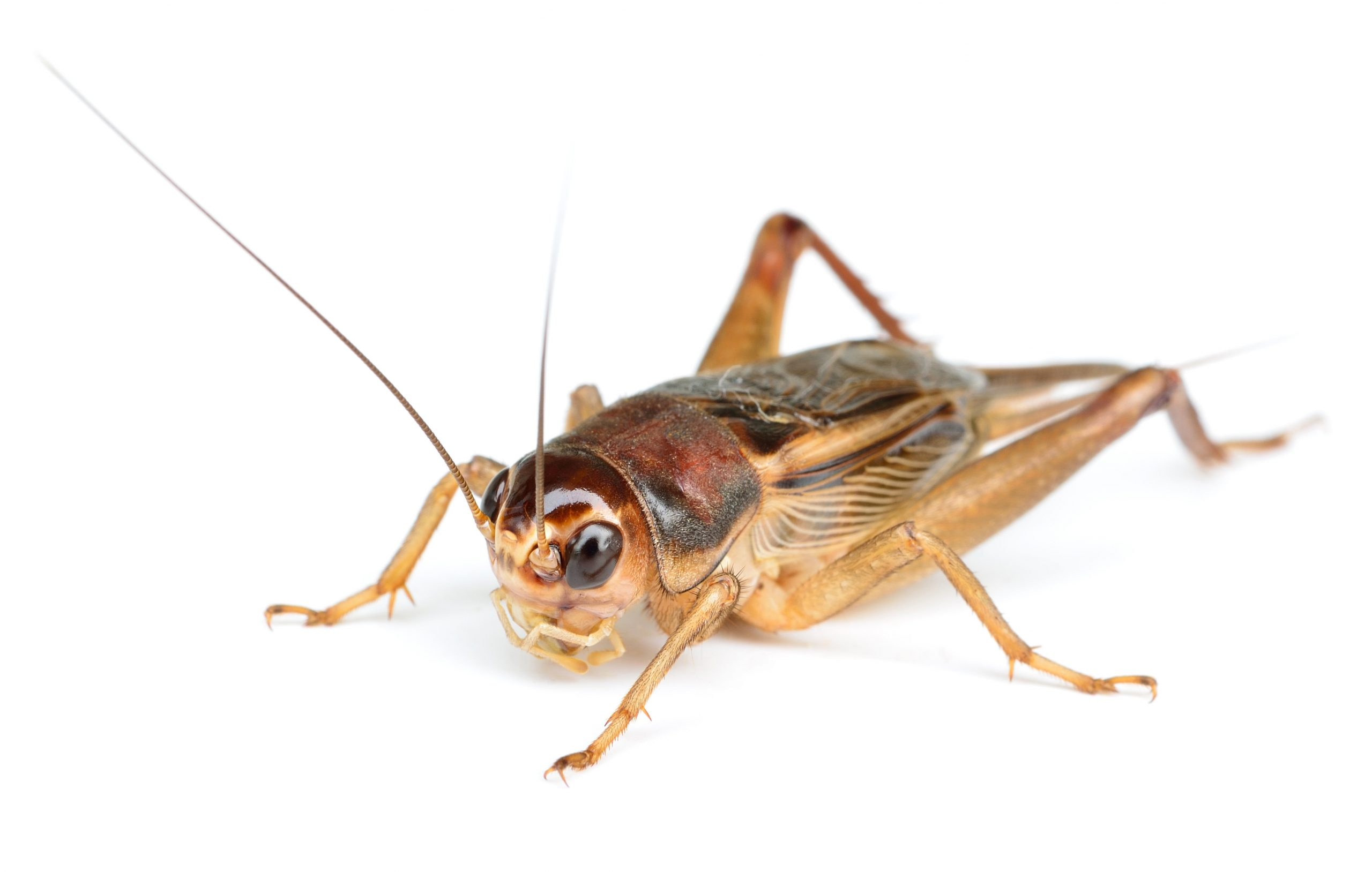 Can Crickets Tell You The Temperature?